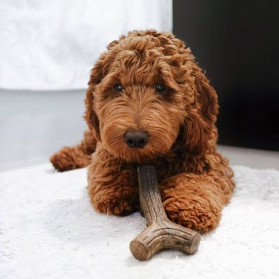 Dog with Benebone Stick